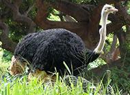 大鸵鸟草地休闲图片