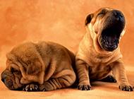 中国纯钟沙皮犬打瞌睡图片