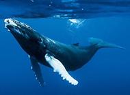 可爱鲸鱼海底游玩图片