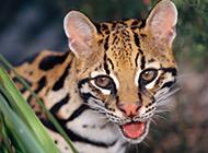 纯种的孟加拉豹猫头部特写图片