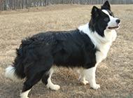 黑白牧羊犬壮实图片大全