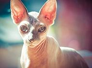 斯芬克斯猫图片姿态神气迷人