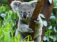 澳洲考拉图片模样呆萌温顺