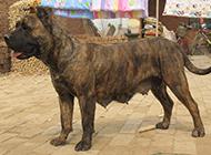 虎斑加纳利犬凶悍眼神图片