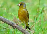 大自然鸟类金丝雀图片特写