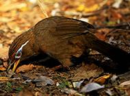特级画眉鸟觅食图片欣赏
