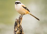 机灵的棕背黑头伯劳鸟图片