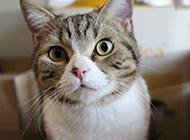 可爱的美国短毛猫图片壁纸