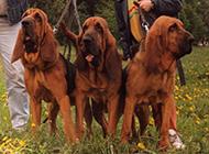 外形高大帅气的英国寻血猎犬图片