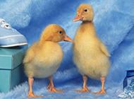 小鸡小鸭子近拍动物图片
