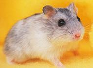 可爱的仓鼠图片惹人爱