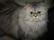 超可爱萌宠蓝色金吉拉猫图片
