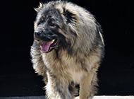 魁梧强壮的短毛高加索犬图片