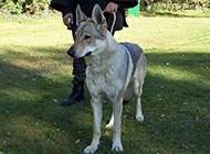 眼神淡定自若的捷克狼犬图片