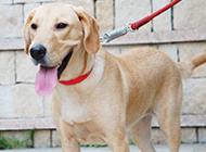 拉布拉多犬可爱幼犬图片
