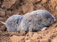 体型圆胖的中华鼢鼠图片