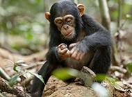 树林玩耍的可爱大猩猩图片