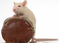 小白鼠调皮爱玩图片