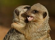 拥抱在一起的猫鼬高清图片
