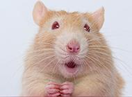 惊讶呆萌的花枝鼠壁纸图片