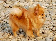 褐色狐狸犬可爱户外写真图片