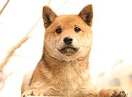 萌宠单身柴犬图片