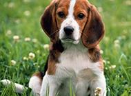 最漂亮的比格犬高清图片壁纸