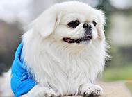 小京巴犬精明机智图片