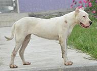 户外活动的大型杜高犬图片