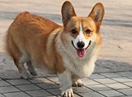 纯种小短腿柯基犬图片