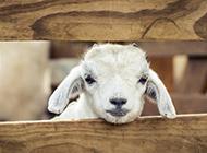 栅栏里可爱的小绵羊图片