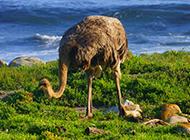 澳洲鸵鸟海边嬉戏玩耍图片