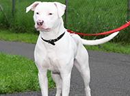 洁白美丽的纯种杜高犬图片