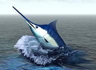 跃出海面的蓝剑鱼图片