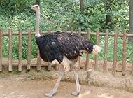 体型健壮的非洲鸵鸟图片