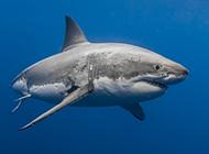 深海凶猛的大鲨鱼图片