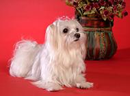 迷你马尔济斯犬可爱优雅写真图片