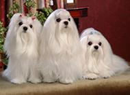 长毛马尔济斯犬可爱宠物图片