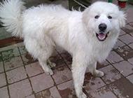 短毛大白熊犬狗狗图片
