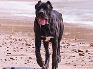 勇猛的卡斯罗犬图片欣赏