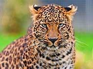 堪称速度之王的金钱豹