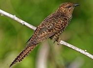 长嘴杜鹃鸟图片惬意栖息森林