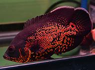斑斓发光的红地图鱼图片
