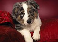 喜乐蒂牧羊犬无辜可爱眼神图片