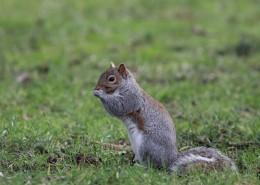 活泼可爱的灰色小松鼠图片_15张