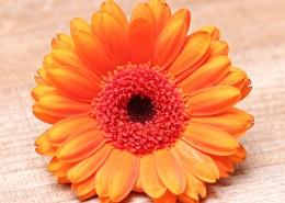 橙黄色的非洲菊图片_10张