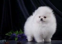 白色的斯皮茨犬图片_9张
