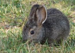 灰色的兔子图片_13张