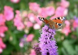 花丛中的孔雀蝴蝶图片_11张