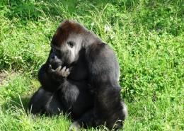体型庞大的大猩猩图片_13张
